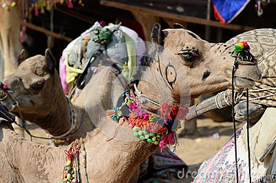 Decorated nomad camel at famous asian cattle festival,India
