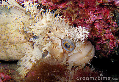 Decorated warbonnet fish staring at camera