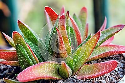 Decorative aloe vera plant clay pot indoors royalty free - Aloe vera plante utilisation ...