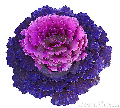 Free Decorative Cabbage Stock Photo - 22119630
