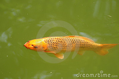 Decorative carp or koi stock photos image 19793663 - Decoratie kooi ...
