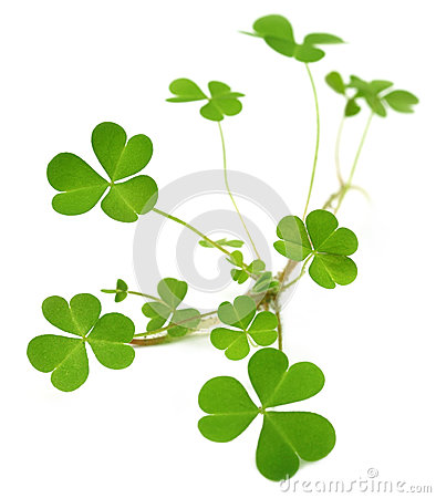 Decorative clover plant