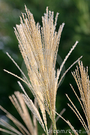 Free Decorative Grass Royalty Free Stock Photo - 10877495