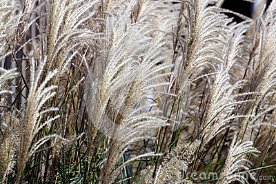 Decorative Long Grass