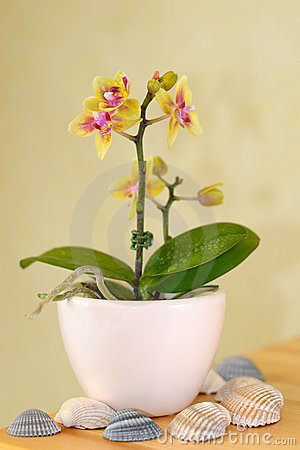 Decorative orchid