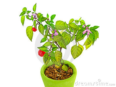 Decorative Pepper Plant