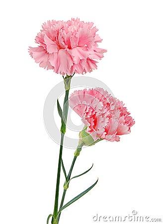 Free Decorative Pink Carnation Flowers Stock Photo - 26109340