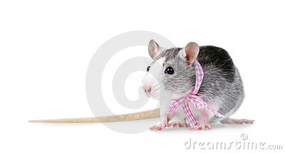 Decorative rat with pink ribbon isolated on white
