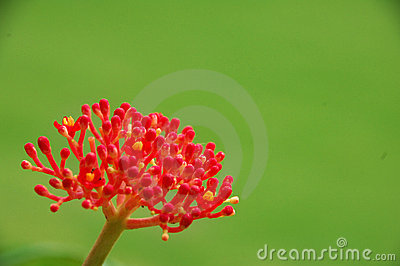 Decorative red flower in bloom