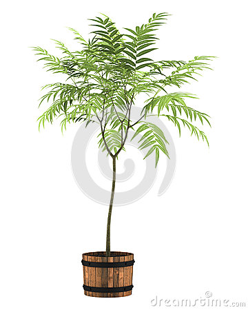 Decorative tree in pot isolated on white