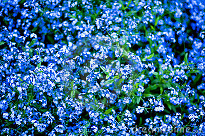 Deep blue flowers
