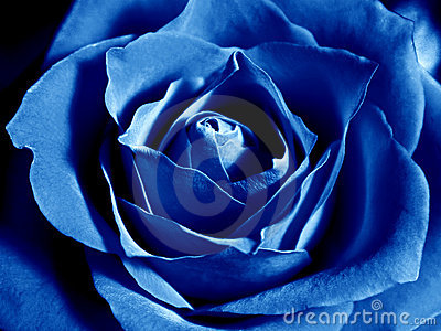 Deep blue rose