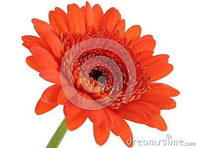 Deep Orange Gerber Daisy Focus In Center
