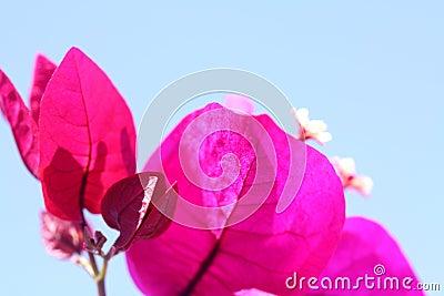 Deep Pink Bougainvillea Plant