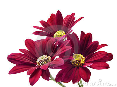 Deep red chrysanthemum flowers