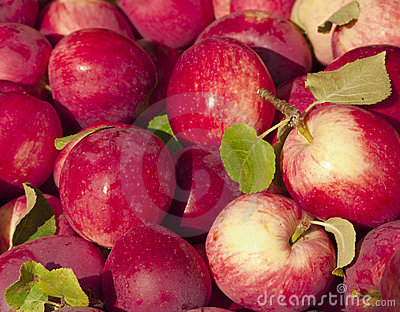 Deep red fresh-picked apples