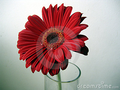 Deep Red Gerbera Flower Close up on Green Background