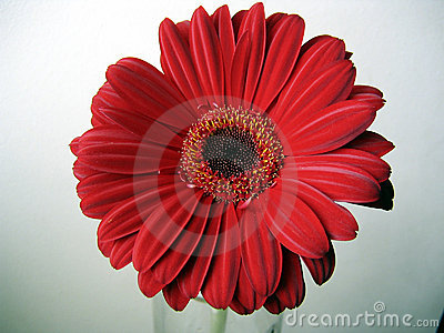 Deep Red Gerbera Flower Top View Close up on Green Background