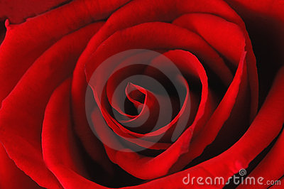 Deep red rose - abstract