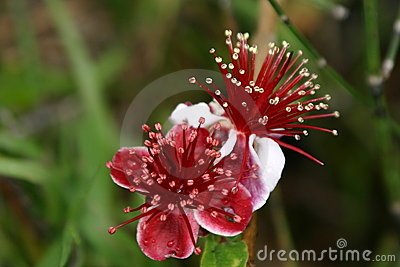 Deep Red and White Blossoms with many stamens