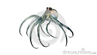 Deep sea octopod isolated