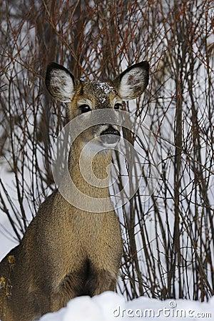 Deer 1d