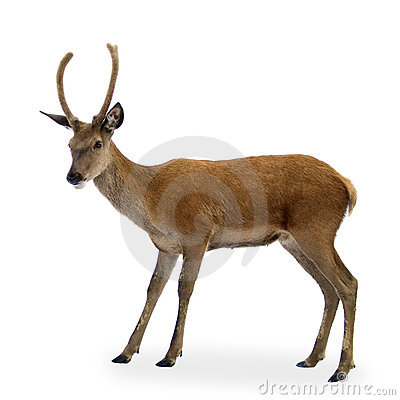 Free Deer Royalty Free Stock Photos - 2780108