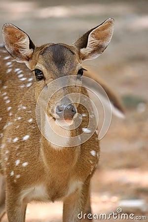 Free Deer Royalty Free Stock Images - 818349