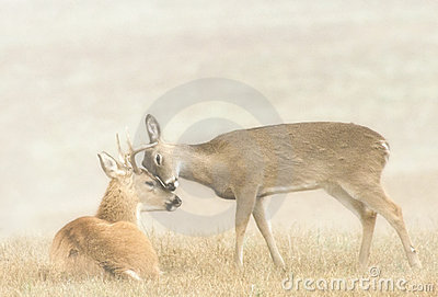 Deer Affection