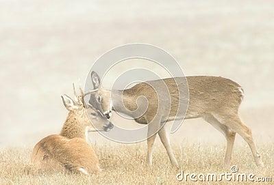 Deer Affection