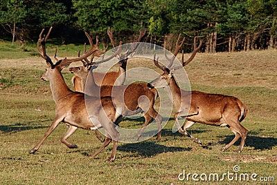 Deer with big horns