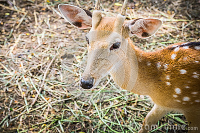 Deer at Bonanza Exotic Zoo in Thailand Stock Photo