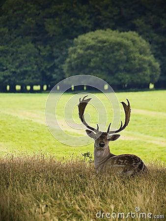 Deer Buck sitting against countryside backdrop