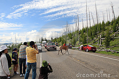 Deer crossing road,Yellowstone Editorial Stock Image