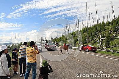 Deer crossing road,Yellowstone Editorial Stock Image