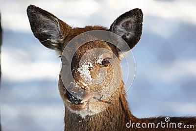 Deer eat twig