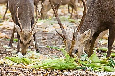 Deer eating.