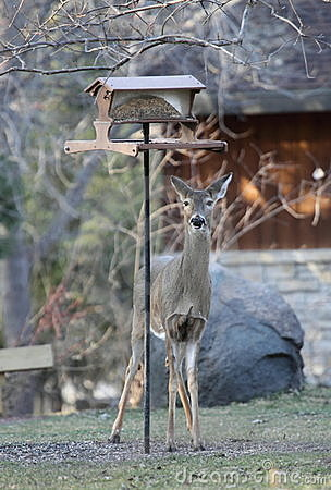 Free Deer Eating At The Birdfeeder Royalty Free Stock Image - 13679016
