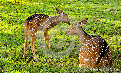 Deer family with baby n mother of deers