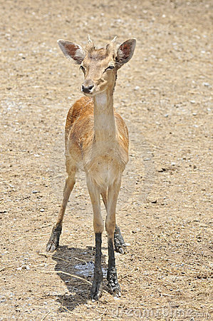 Deer fawn standing