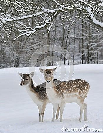 Deer in field in snow