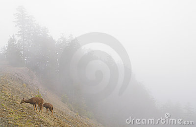 Deer on a foggy mountainside