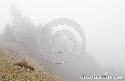 Deer on a foggy mountainside