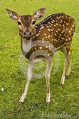Deer on the grass