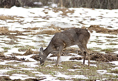 Deer grazes in snow field.