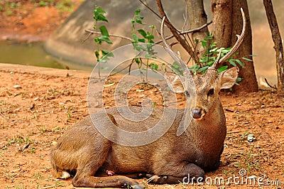 Deer on ground