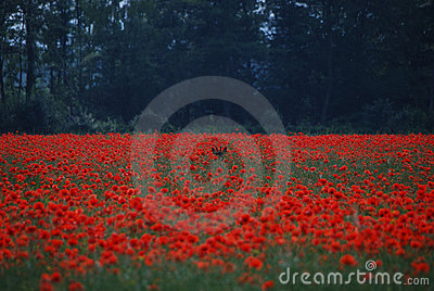 Deer hide in poppy field