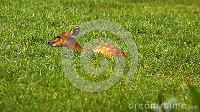 Deer Hiding On The Grass