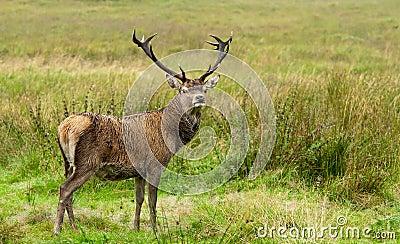 Deer in Highlands Scotland