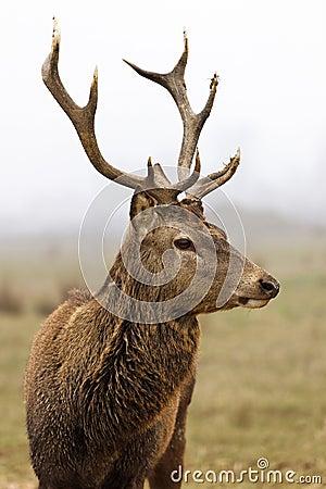 Free Deer In Field Stock Photos - 18465593